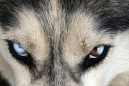 Closeup-of-a-Husky-with-blue-and-brown-eyes
