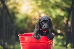 DoggyDayCareNewYork-Beautiful Black Labradoodle dog sitting inside a red bucket.