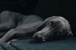 DoggyDayCareSeattle-Beautiful Weimaraner dog resting in the backseat of the car.